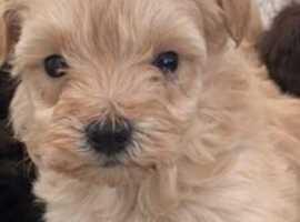 3/4poodle1/4 Yorkshire terrier