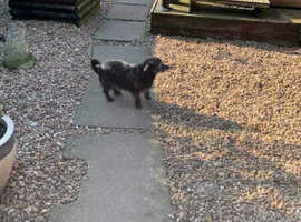 Missing Terrier cross in Leicester