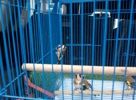 For sale Goldfinches