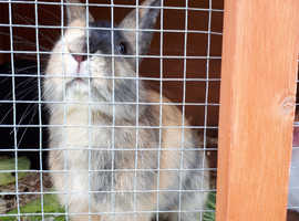 Rabbits £30each or £50 for two