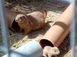 Two pairs of black tailed Prairie dogs and spare boy