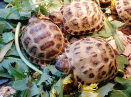 Horsfield tortoises ready now