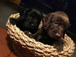 KC REGISTERD COCKER SPANIELS