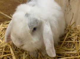 Beautiful English lop buck male