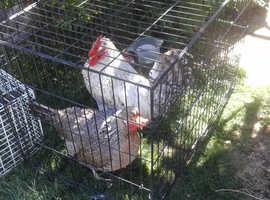Cream Legbar Trio 2 hens + cock Chickens