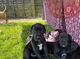 Beautiful Great Dane puppies 2 girls left