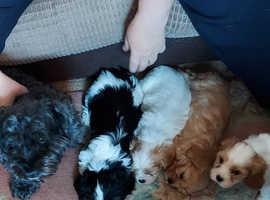 King charles Cross shizu poodle puppies