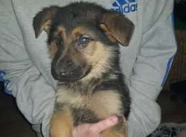 beautiful German shepherd puppy's