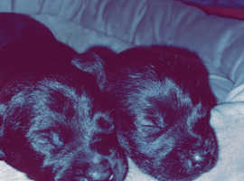 Two Patterdale Terrier Dog Pups.  Ready3weekTime.