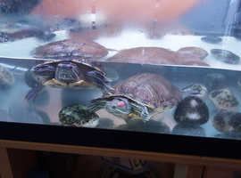 Red eared turtle 12 years old (two) with tank and filter and lights gree to good homr
