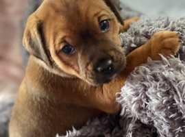 Plummer X jagdterier last pup for sale.