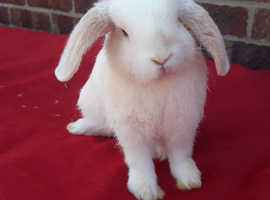 Male mini lop rabbits REDUCED TO SELL!!