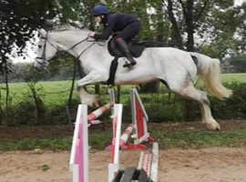 REDUCED 16.3/17hh mare