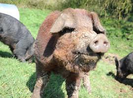 Pedigree Duroc boar