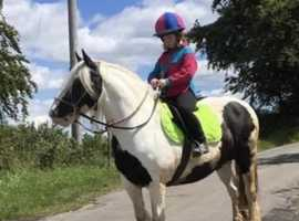 Super laid back Chunky cob mare for any member of the family!