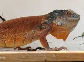 male red iguana for sale