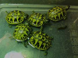 CB Hermans Tortoise (Hermanni Boettgeri)