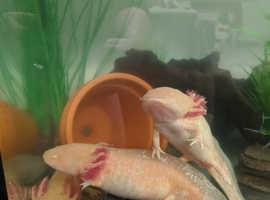 Golden Albino Axolotl eggs