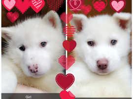 White Husky puppies