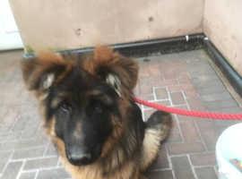 Handsome German Shepherd Pup