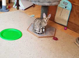 Serengeti kittens ready to goto there new forever homes