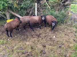 8 Pure Bred Registered Blue Texel Ewe Lambs