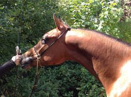 2 year old Arab colt