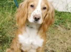 cocker spaniel working type  KC registered 18 months old