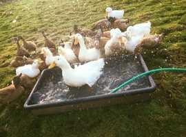 POL khaki Campbell and cherry valley ducks