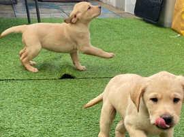 Labradour puppies