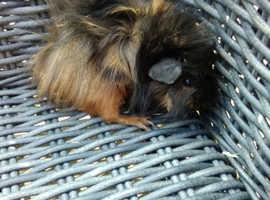 Fluffy baby Guinea pig female