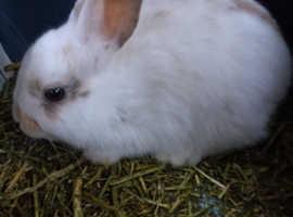 Baby girl bunnies 8wks