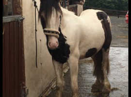 Super quiet gelding for sale