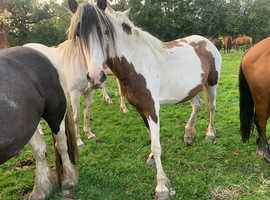 Mare and fouls for sale