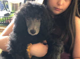 Standard Poodle Upcoming Litter Oct 2020