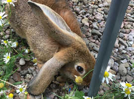 Belgian Hare cross French Lop