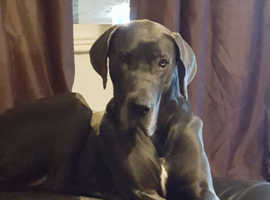 Looking for a great Dane stud dog