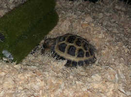 Horsefield Tortoise for sale
