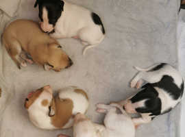 KC Whippet puppies
