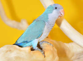 Baby Blue Quaker talking parrots,3