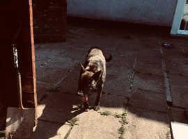 3/4 bull dog 1/4 German Shepard