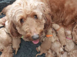 goldendoodle  x  goldendoodle beautiful puppies ,