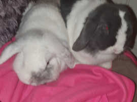 2 doe dwarf lop eared rabbits 6 months old can be sold without cage for £40