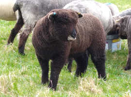 Various coloured ryelands and coloured ryeland x blue texel for sale