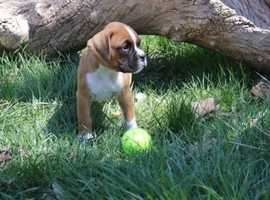 ~Chunky Excellent~Bobtail Boxer Pups~ Ready For Sale To Perfect Homes~