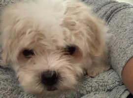 Beautiful Coton de Tulear Puppies