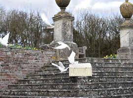 White homing pigeons