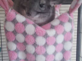 Two 2 year old female chinchillas (Amber and Phoebe)