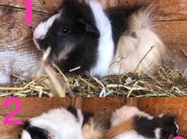 13 Week Old Sows (Female Guinea Pigs)