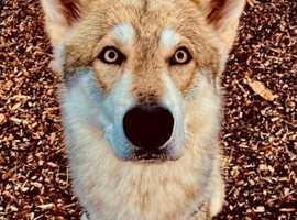 Utonagan Puppies (malamute x Husky x GSD)